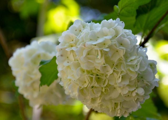 hydrangea_white_cr_sm